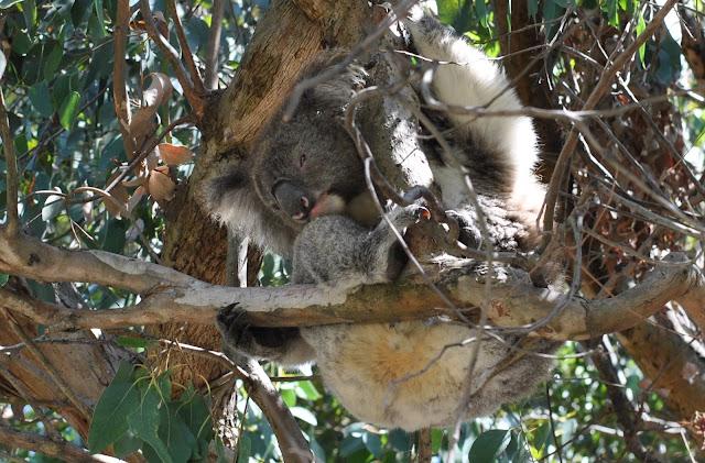 Kafe Koala Kennett River