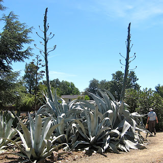 Agave franzosinii in bloom at  Ruth Bancroft Garden