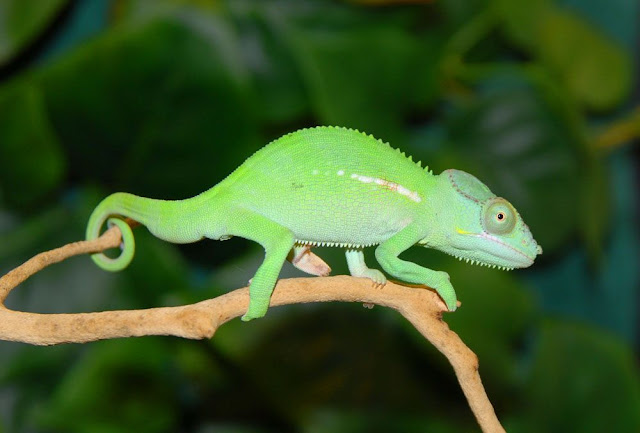 Beautiful And Colorful Panther Chameleon Pictures
