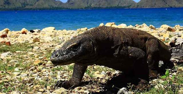 Wisata Pulau Komodo, Taman Nasional di NTT Paling Populer