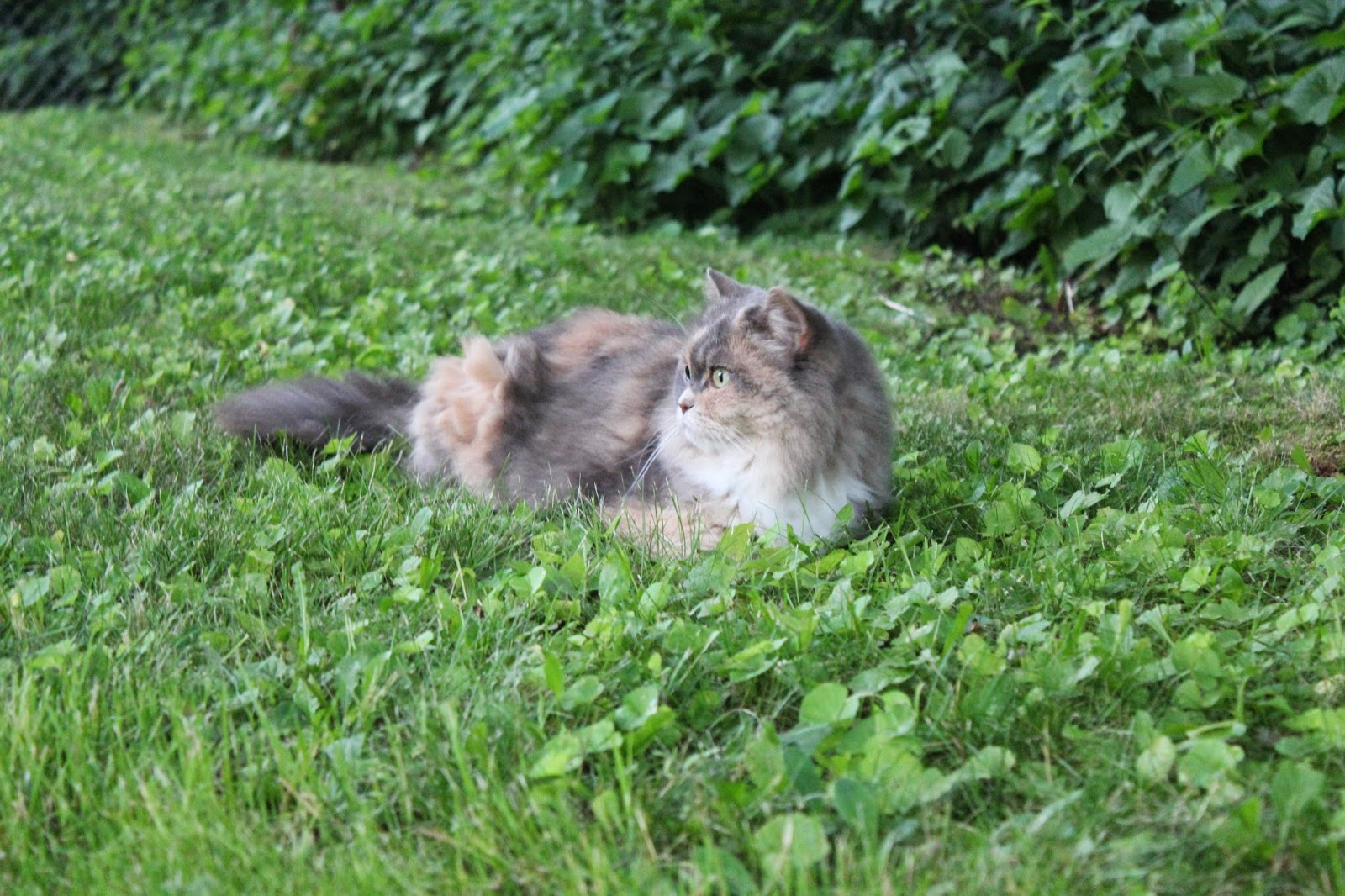 cat laying in the grass watching birds