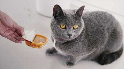 hypoallergenic cat breeds, are russian blue cats hypoallergenic