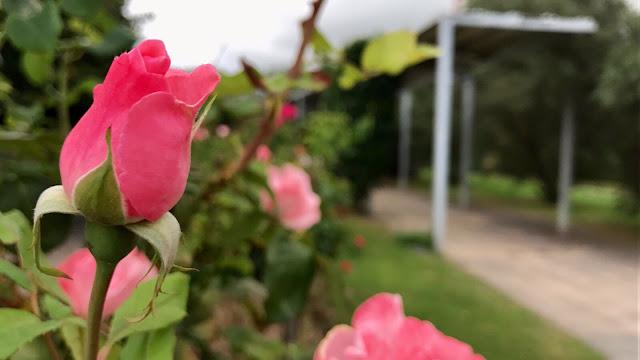Rosas del jardín botánico