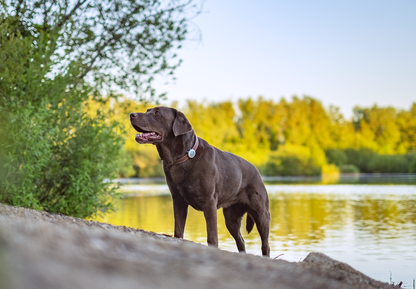 Chocolate Labrador wears Animo Activity Tracker and Behaviour Monitor from Sure PetCare during walk