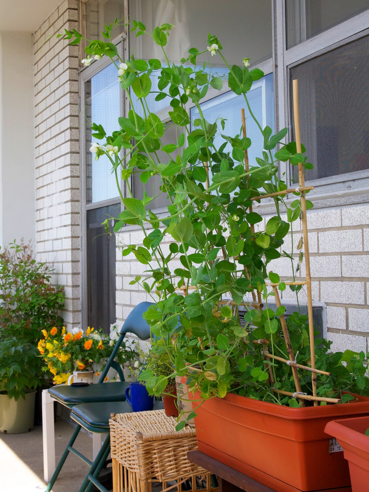 Toronto Balcony Gardening: Snap Peas Growing Like Crazy ...