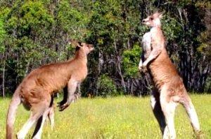 Australia: Letak Geografis,Iklim, Bentuk,Geologi, Keadaan Penduduk, Flora, Fauna