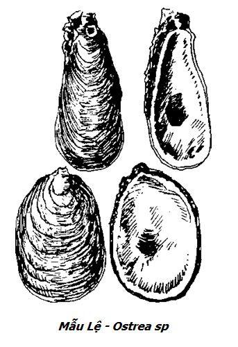Hình vẽ Mẫu Lệ - Ostrea sp - Nguyên liệu làm thuốc Chữa Đau Dạ Dày