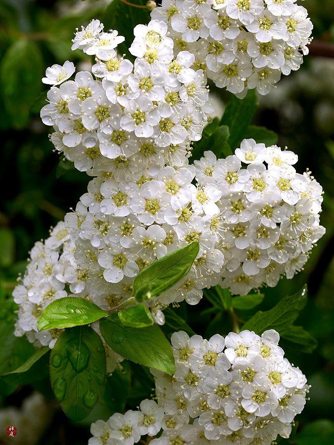 From The Garden Of Zen Kodemari Spiraea Cantoniensis Flowers In