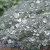 Kale in the rain