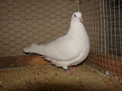 french pigeons - white pigeons and dove