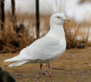 glaucpides Iceland Gull St.John's