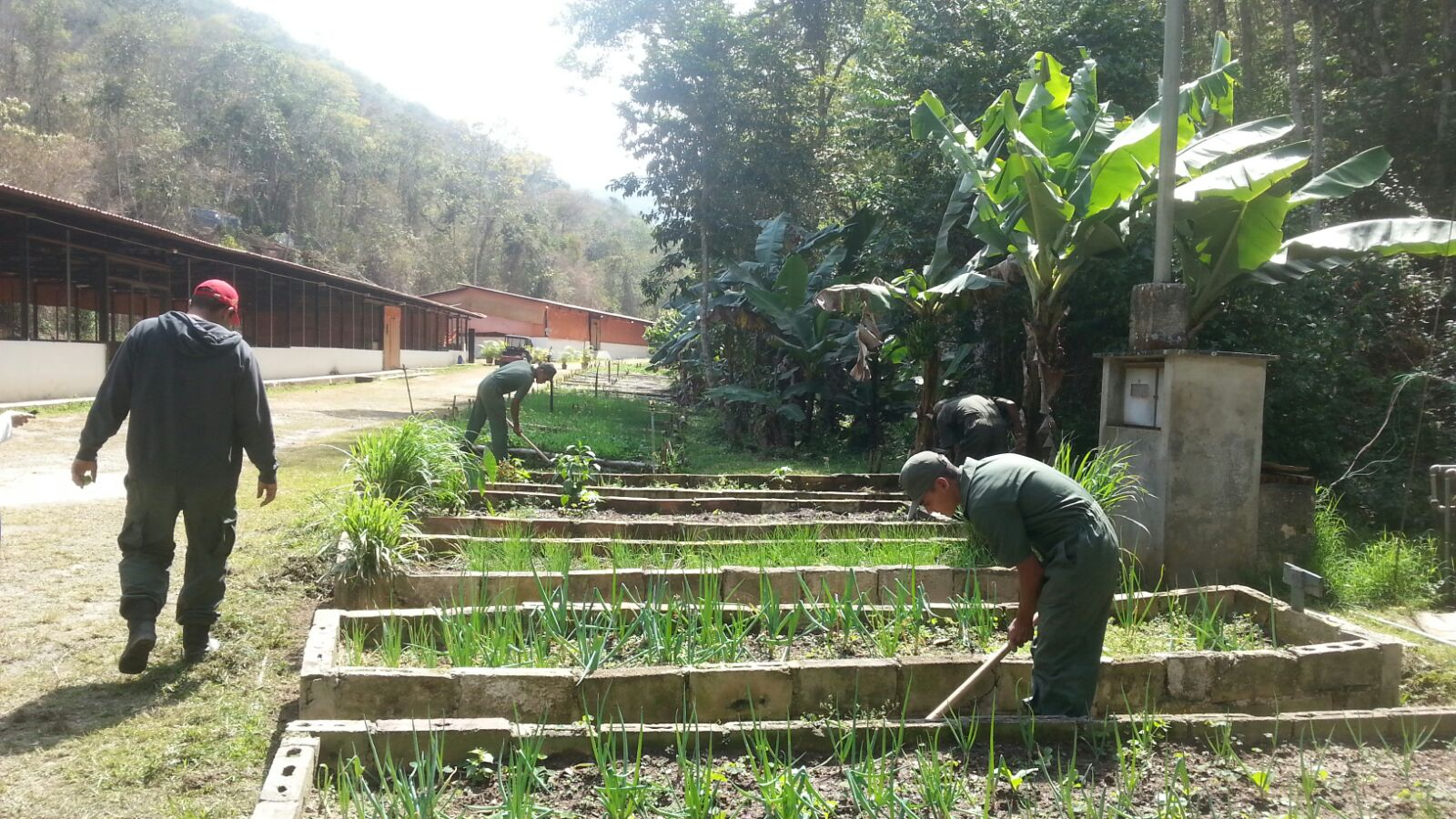 Upsa bejarano contribuye con la soberan a agroalimentaria for Alimento para cachamas