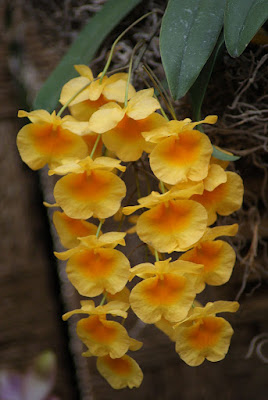 Dendrobium jenkinsii care and culture