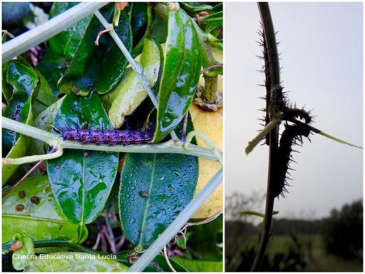 Orugas de mariposa espejito comiendo las hojas del mburucuyá - Chacra Educativa Santa Lucía