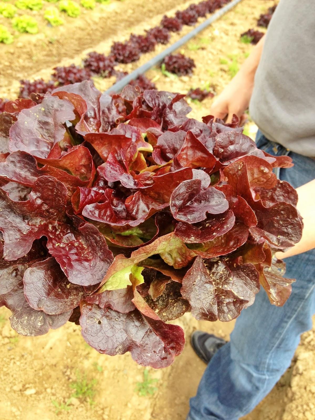 cueillette de salade, récolte de salade, photo salade
