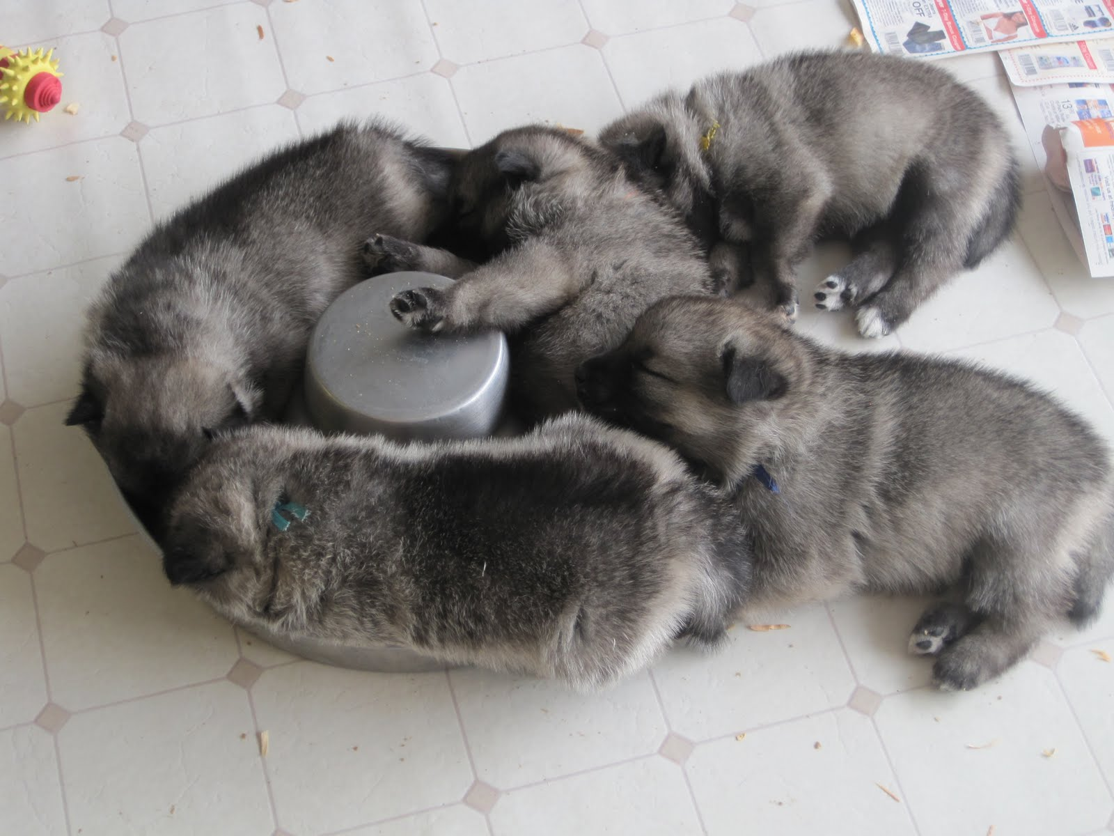 Norwegian elkhound, The breed and I dare you on Pinterest