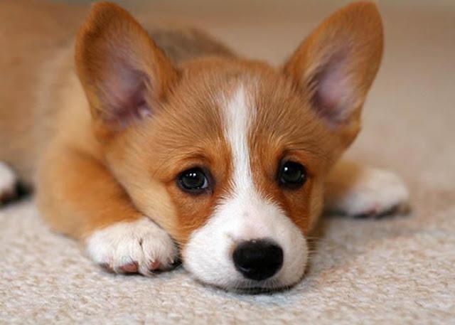 Những bệnh phổ biến chó dễ mắc phải