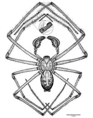 Catalogue Of Organisms Lace Web Weavers