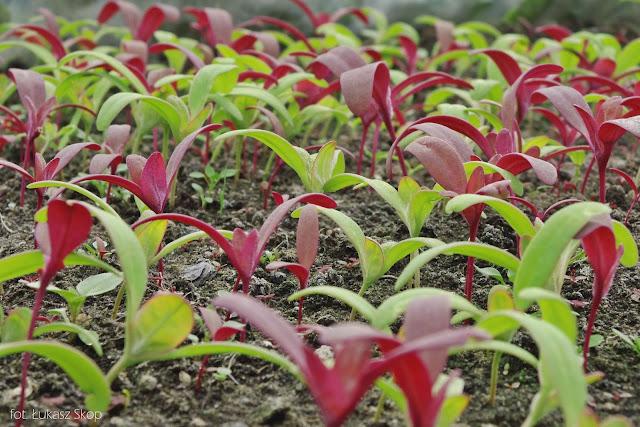 nasiona i wysiew łobody czerwonej
