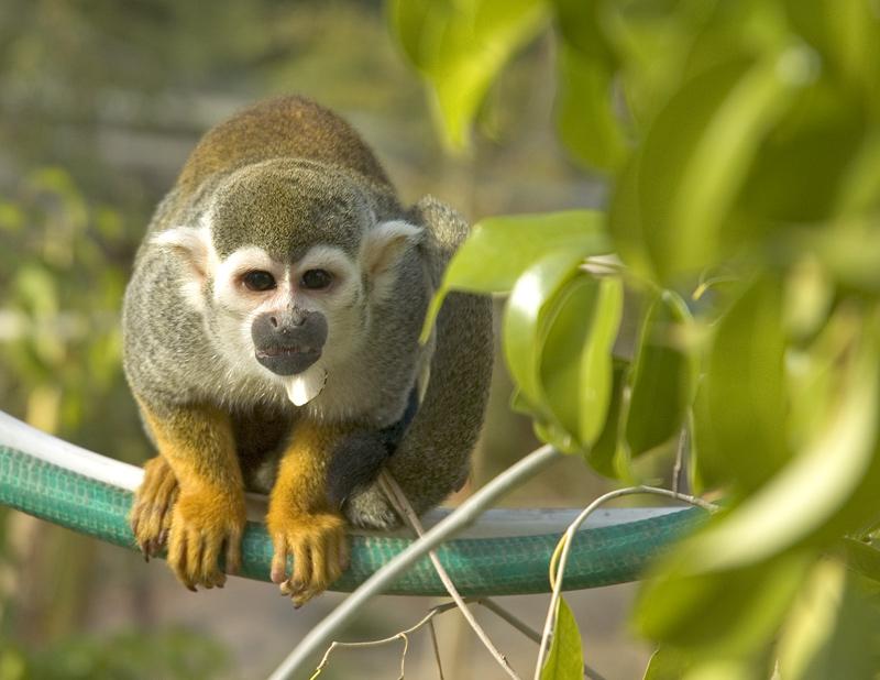 Spider Monkey | Animal Wildlife