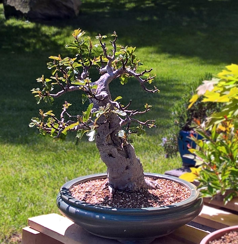 Evoluzione Bonsai   Bonsai di Fico - Ficus carica - fig tree 6322891c126c