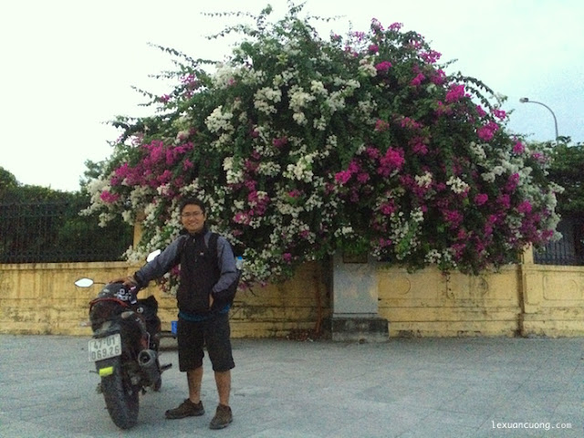 Cây hoa giấy đẹp nhất Quảng Ninh