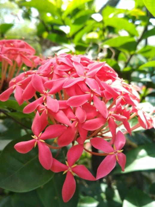 How to Easily Plant and Take Care Ashoka Flowers