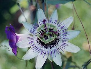 Flor de la pasión como tratamiento para la ansiedad