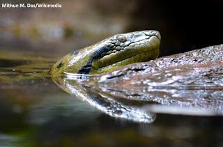 Belém, cobras, sucuri, Belém do Pará, cobras são encontradas em Belém, animais, anaconda, green anaconda, lixo, batalhão de polícia ambiental, Pará, serpentes, sucuri encontrada na faculdade, animal, natureza