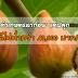"""""""ไม่เคยทำเกษตรมาก่อน"""" แต่ปลูกมะเดือฝรั่ง ขายได้ไม่ต่ำกว่า 40,000 บาท/เดือน"""