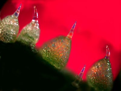 Cucumber skin with Trichomes under polarizing microscope, Infinity X-32 camera. PHOTO: Dr. Robert Rock Belliveau