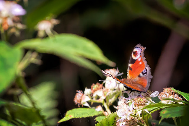 Macro image of a peacock butterfly in the sunshine at Holme Fen