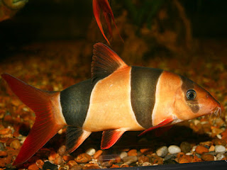 Clown Loach Fish Pictures