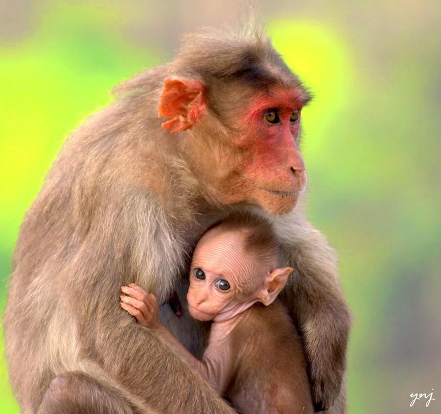 baby monkey drink milk