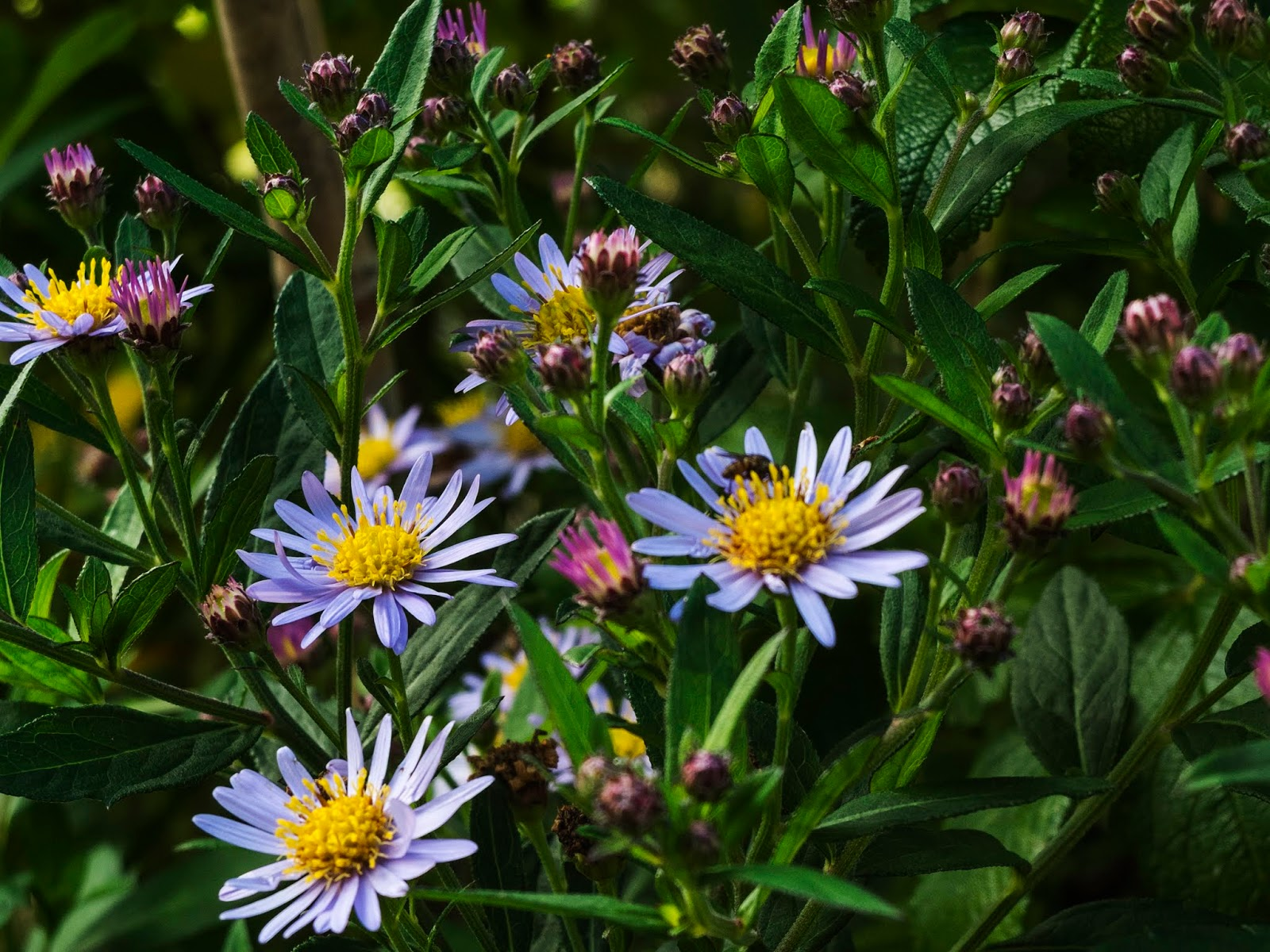 Tiny purple Aster flowers with yellow centres.