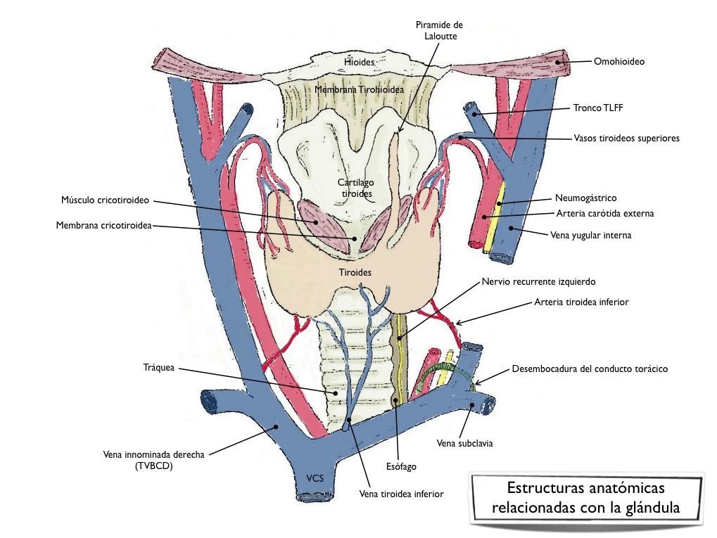 Estudios de glándula tiroides