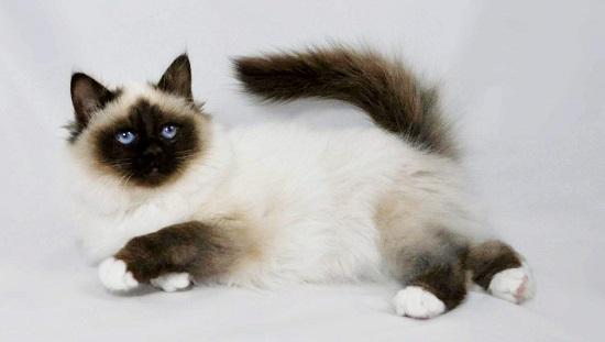 kucing himalaya yang populer di indonesia