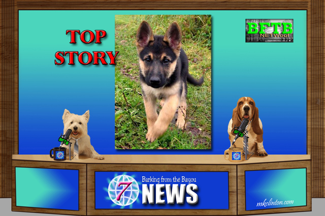 BFTB NETWoof News top story on German Shepherd pup