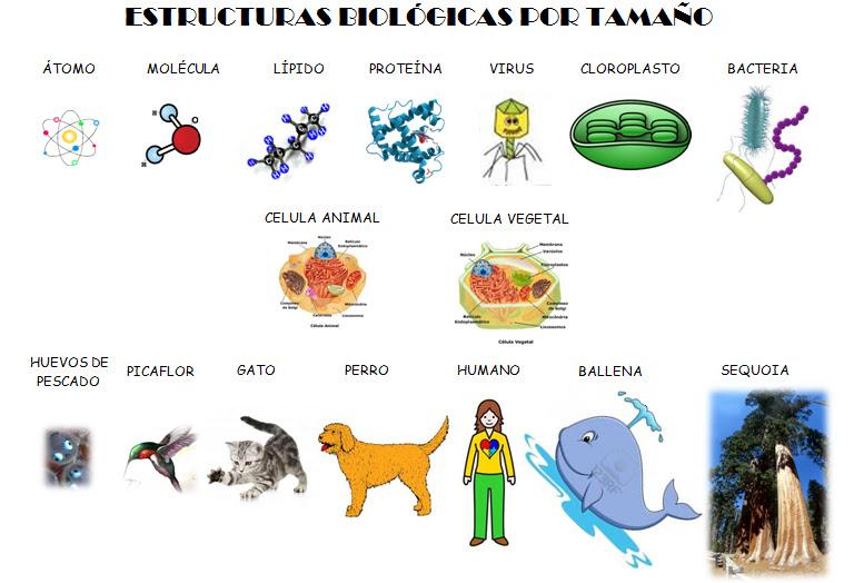 Catedra De Biologia Estructura Biologica Por Tamaño