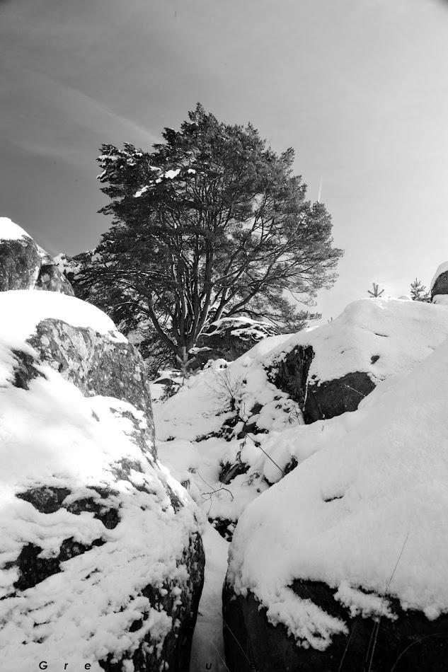 Pin aux 17 branches, Gorges d'Apremont, Forêt de Fontainebleau, Barbizon