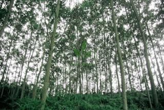 Pohon-Sengon-Solomon