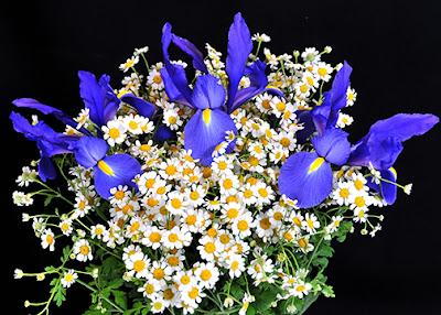 Iris matricaria bouquet