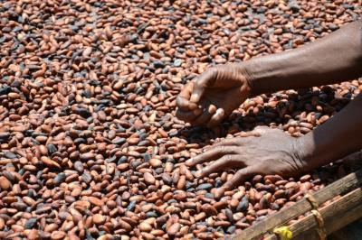 How cocoa beans are harvested?