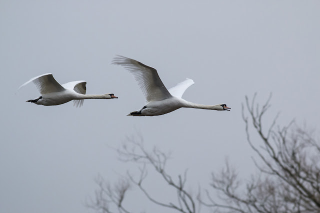 Mute Swans coming back down