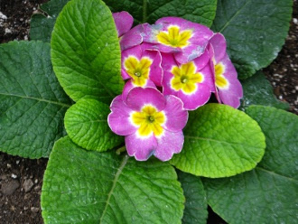 Allan Gardens Conservatory spring blooms yellow and pink primula by garden muses: a Toronto gardening blog