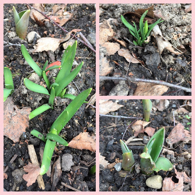 Die Blumenzwiebeln wachsen
