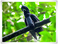 Umbrellabird Animal Pictures