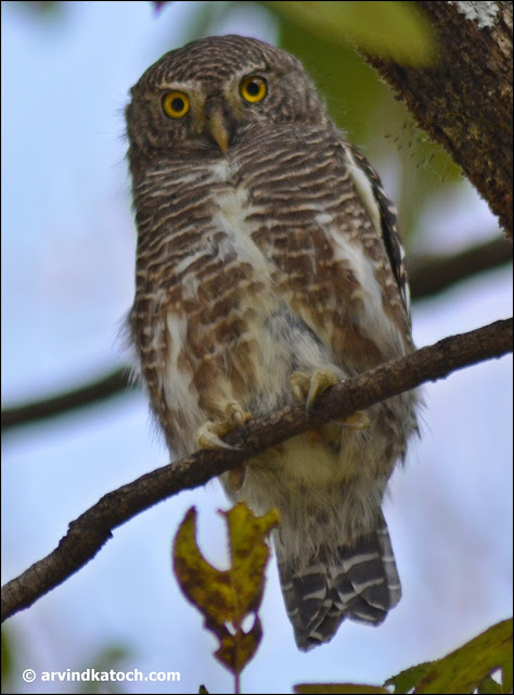 Asian Barred owlet, Himalayan, species,