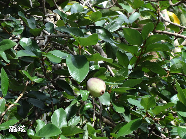 薜荔的果實像極了愛玉果。薜荔是屬於桑科的常綠蔓性灌木。