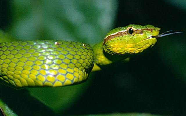 Ular pit viper